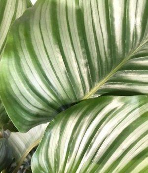 Orbifolia close up