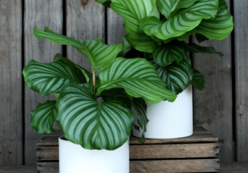 Orbifolia sierpot